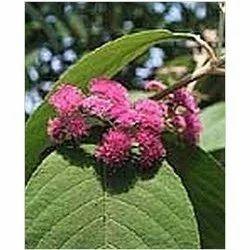 Callicarpa Macrophylla