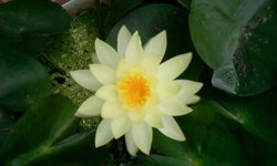 Off white Water Lily( Aquatic plants / Pool plants )