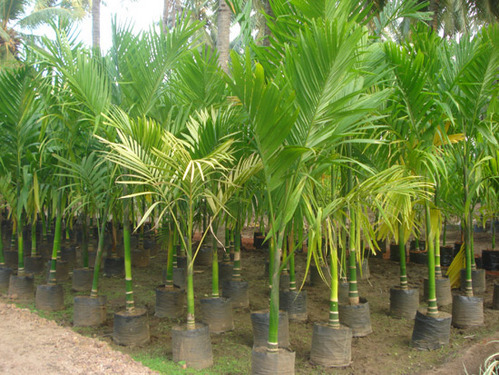 Palm Trees Supari Palm Wholesaler From Pune