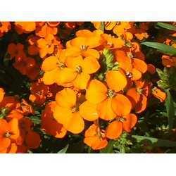 Wallflower Perfume Oils