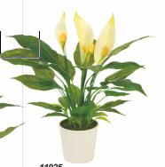 spathiphyllum koch plants