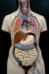 Anatomy Models For Nurse Training