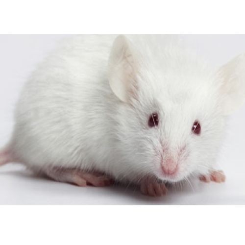 pet mouse white mouse retailer from new delhi