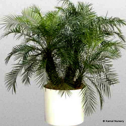 Phoenix Roebeleni(Palms/ Palm tree/ Ornamental palm)