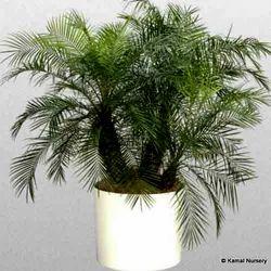 Phoenix Roebeleni Palm Tree