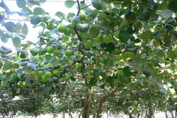 Taiwan Apple/ Apple Ber/ Thai Ber Plant