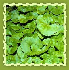 Natural Cosmetic Suppliers Natural Cosmetic Suppliers Centella, Brahmi