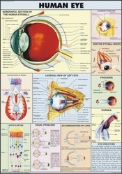Human Eye For Human Physiology Chart