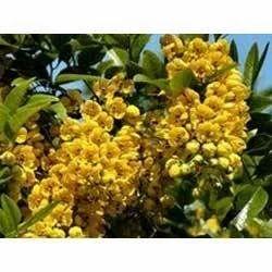Avarmpoo (Cassia Auriculata)