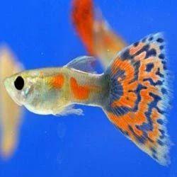 Guppy+Fish