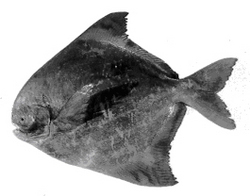 Chinese Pom Fret Fish