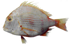 See Bream Fish
