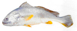 Yellow Croaker Fish