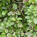 Gurmar Leaves ( Gymnema Sylvestre)