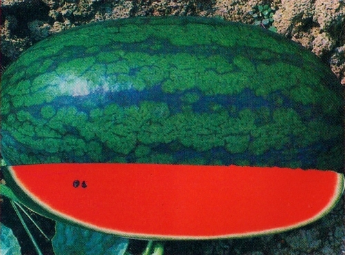 Karina King Watermelon Seeds