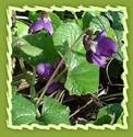 Sweet Violet, Viola (Viola odorata)