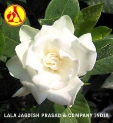 Gardenia Absolute
