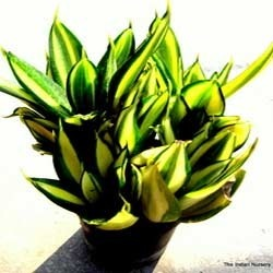 Sanseveria Golden Hahnii Succulent plants