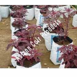 Red Spinach Grow Bags