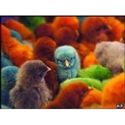 Multi Coloured Chicks