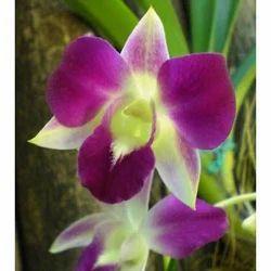 Dendrobium Sonia