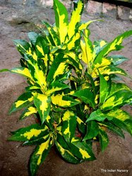 Crotons Ornamental Plants