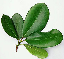 Bay Leaves ( Laurel)