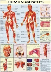 Muscles  Human Physiology Chart