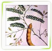 Tamarindus Indica Extract ( Tamarindus Officinalis)