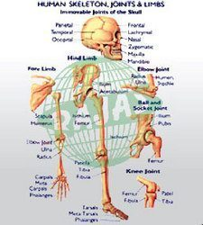 human skeleton joints limbs