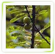 Emblica Officinalis Fruit Extract