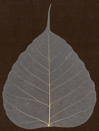 Skeleton Leaf For Art and Crafts