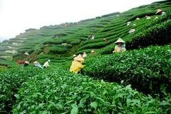 Tea Garden Project