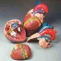 Jumbo Heart Model ( BEP-307 )