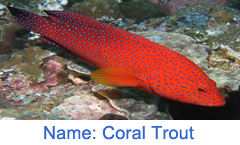 Coral Trout Fish
