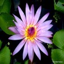 Violet Water Lily  Aquatic plants