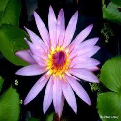 Violet Water Lily  Aquatic plants