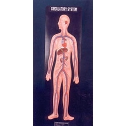 Circulatory System Model