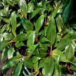 Ornamental Foliage Plant