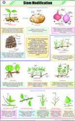 Stem Modification For Botany Chart