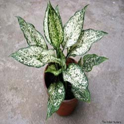 Aglaonema Snow White(Indoor plants/Foliage plants)