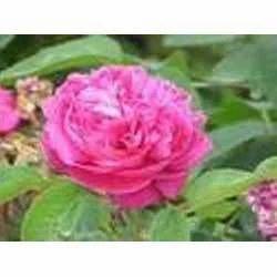 Rose Otto