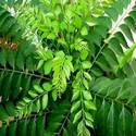 Curry Leaf