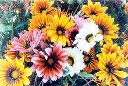 Gazania Splendens-Sunshine Hybrid Mixed