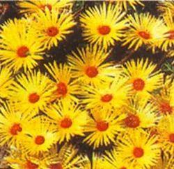 Mesembryanthemum Occulatum Lunette (Yellow Burf)-Yellow