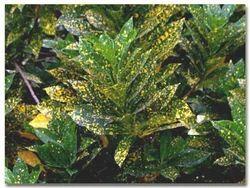 Croton+Plants