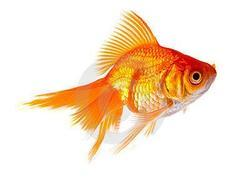 Golden Gold Fish
