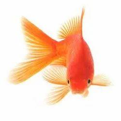 Gold+Fish