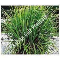 Cymbopogon Citratus Grow Bags