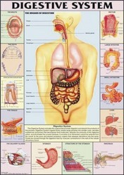 Digestive System For Human Physiology chart
